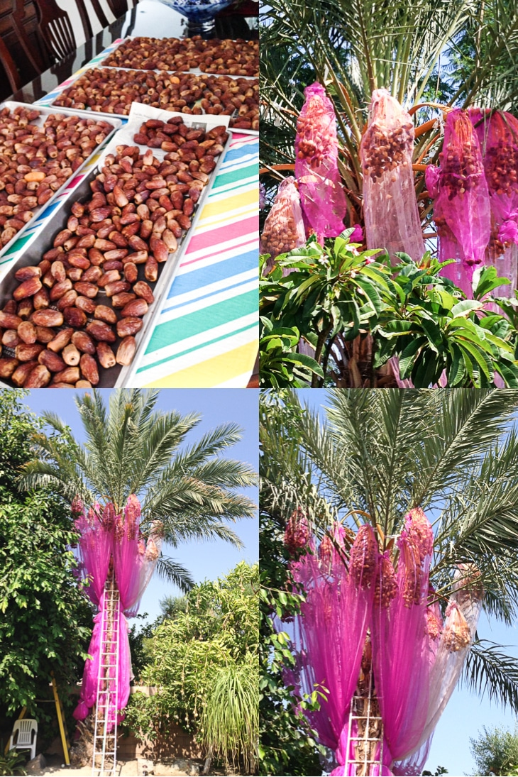 A collage of date palm trees and freshly picked dates for use in fudgesicles.