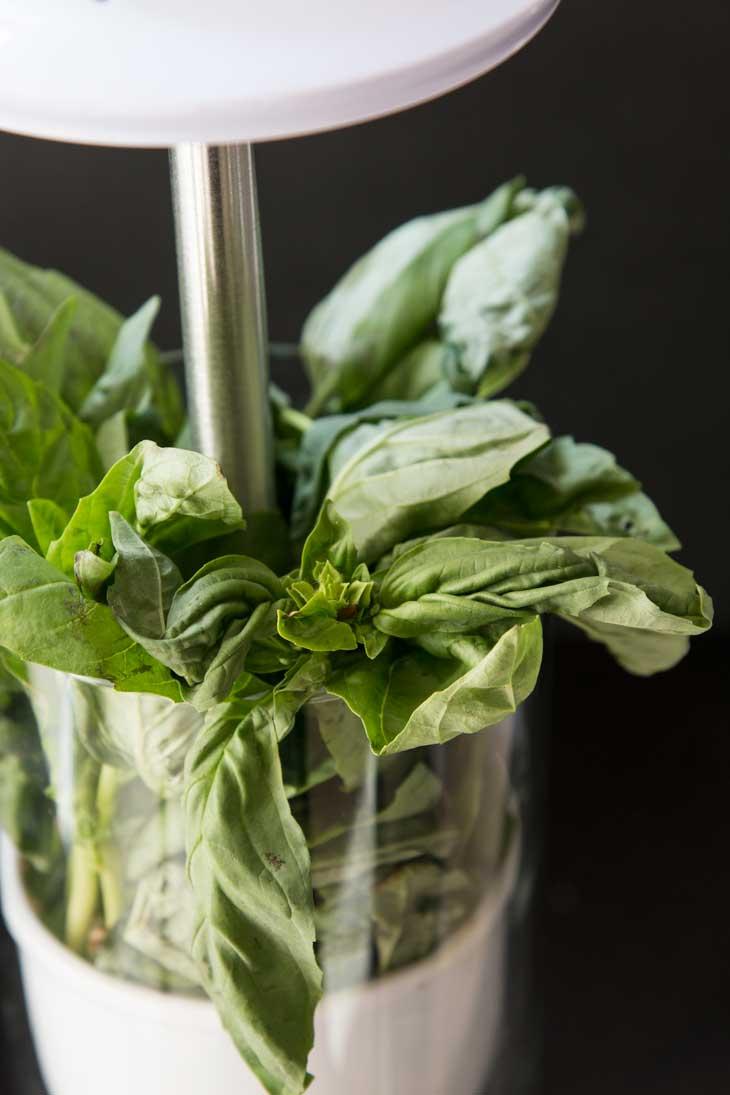Fresh basil in an white glass herb keeper.